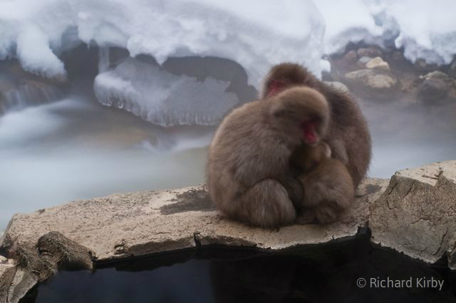 Huddled against the cold, Japanese Macaques