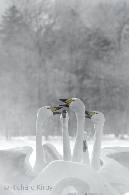 Whooper Swans natter over the weather